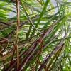 industrie-sucriere-le-nombre-decroissant-de-petits-planteurs-interpelle-le-ministre-mahen-seeruttun