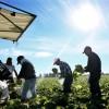 Des ouvriers agricoles mexicains récoltent des salades dans un champ de Brawley, en Californie (ouest), le 31 janvier 2017