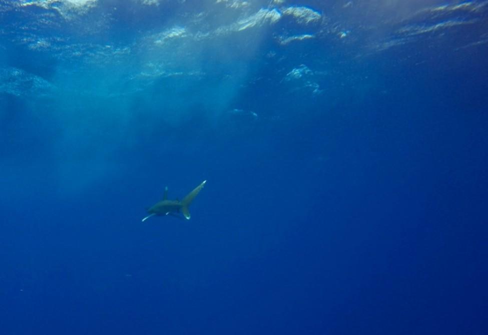 Un requin, une des espèces menacées par le manque d\'oxygène des océans, dans la Mer Rouge au large des côtes égyptiennes en 2018