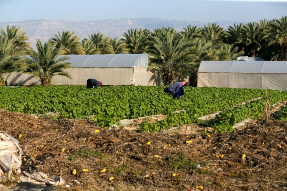 Des Palestiniens travaillent dans le champ près d\'une colonie irsaélienne dans la vallée du Jourdain, territoire palestinien occupé, le 3 mars 2020