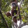 une-espece-rare-d-orang-outan-menacee-par-un-barrage-en-indonesie