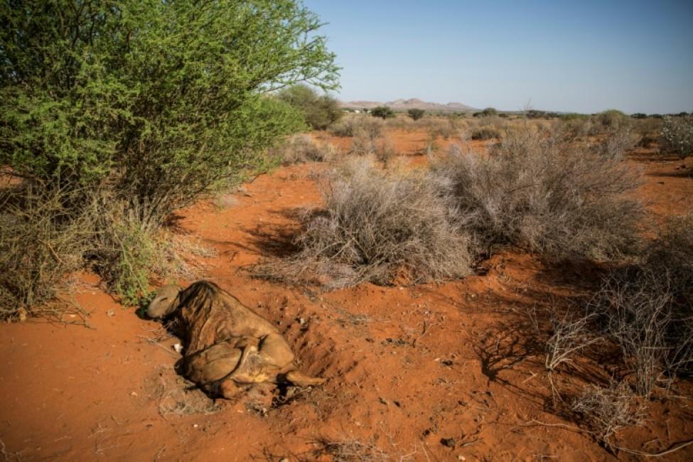 La carcasse d\'un buffle victime de la sécheresse dans la province du Cap-Nord, le 15 janvier 2020 en Afrique du Sud